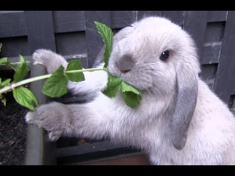 Cutest Rabbit Ever finds a plant to eat - Mini Lop bunny 8 weeks old #1