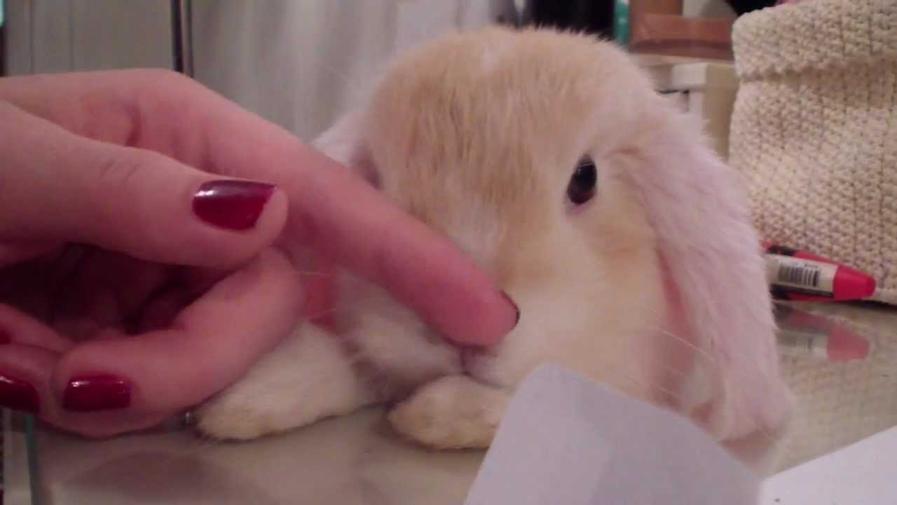 Cuddel time for BooBoo, my mini holland lop bunny