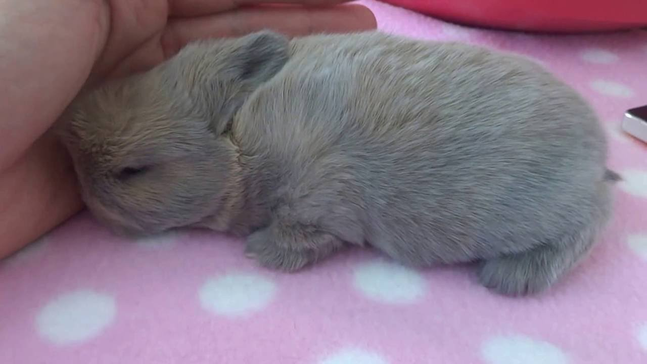 Cute Baby Rabbit Loves a Snuggle and Fuss - Carlys Mini Lop/dwarf/holland Bunnies Part 5